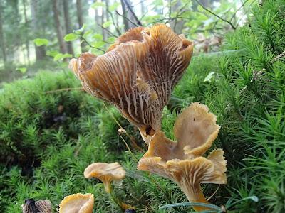 Craterellus tubaeformis pieprznik trąbkowy