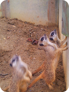 meercats at wingham wildlife park