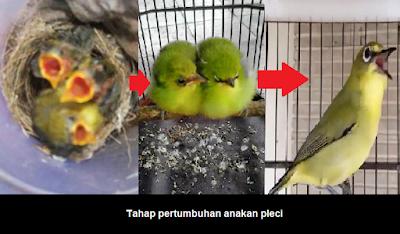Memeliharan burung pleci sejak masih anakan memang merupakan sebuah tantangan yang mengasy Cara Merawat Anakan Pleci Lolohan Yang Benar