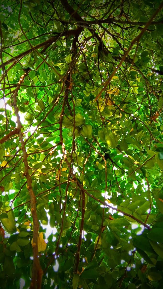 Pohon belimbing yang rindang