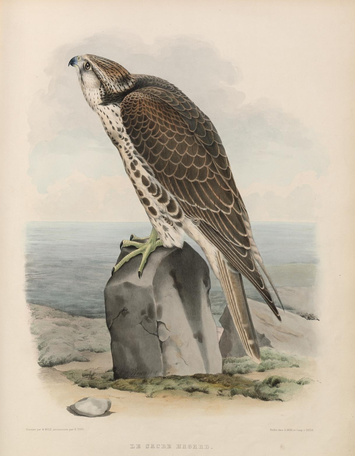 falcon on rock staring up intently