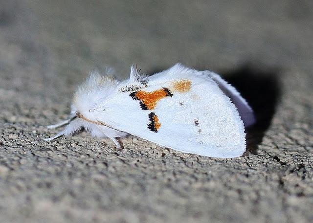 Leucodonta bicoloria, Weißer Zahnspinner