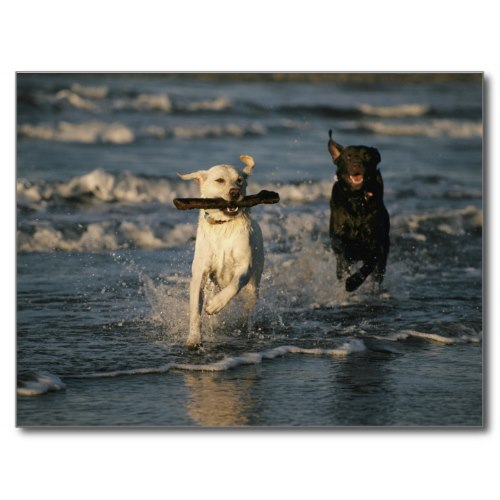 Labs Romping On The Beach | Fun Photo Poster