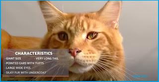 Kucing maine coon karakteristik