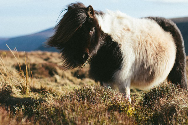 image of a Shetland pony, pictured standing on a hillside in a breeze on the Shetland islands