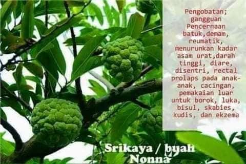 srikaya buah nona pokok khasiat penawar penyakit