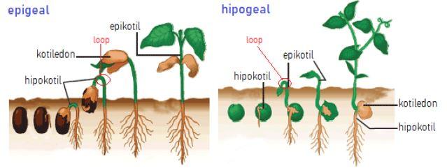 Gambar 1. Perbandingan perkecambahan tipe epigeal dan hipgeal www.torajafarmer.wordpress.com