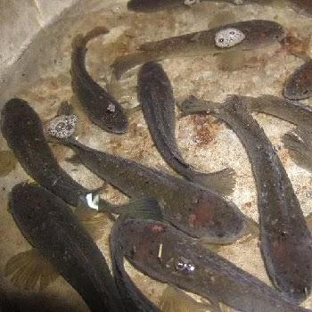 टोळ मासा, Murrel fish name in Marathi