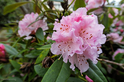 Early blooming rhododendrons in Creekside Village