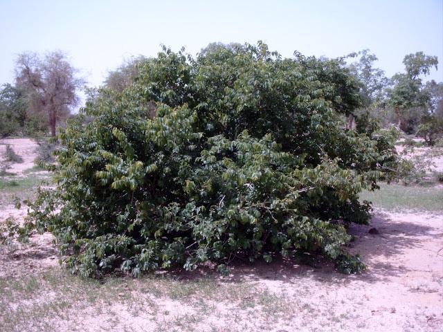 Kinkéliba, Quinkéliba, tisane, Douté, Céxaw, Combretum, micranthum, infusion, arbuste, plante, feuilles, vertus, LEUKSENEGAL, Dakar, Sénégal, Afrique