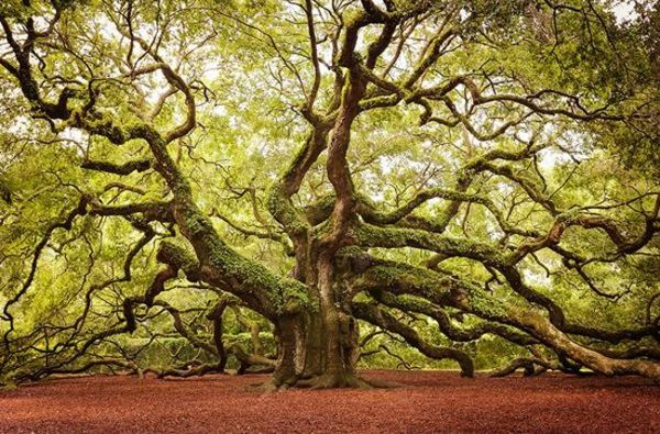 أشجار السنديان الملائكي في جنوب كارولينا أمريكا