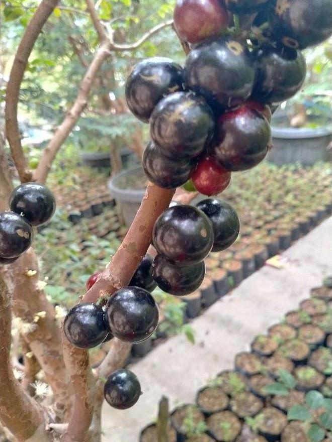 Bibit anggur pohon Jaboticaba usia 10 bulan Banjarmasin