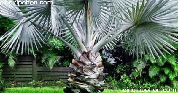 ciri ciri pohon palem bisamarkia silver