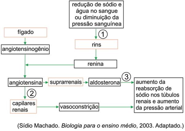 O fluxograma ilustra a participação de alguns órgãos e substâncias