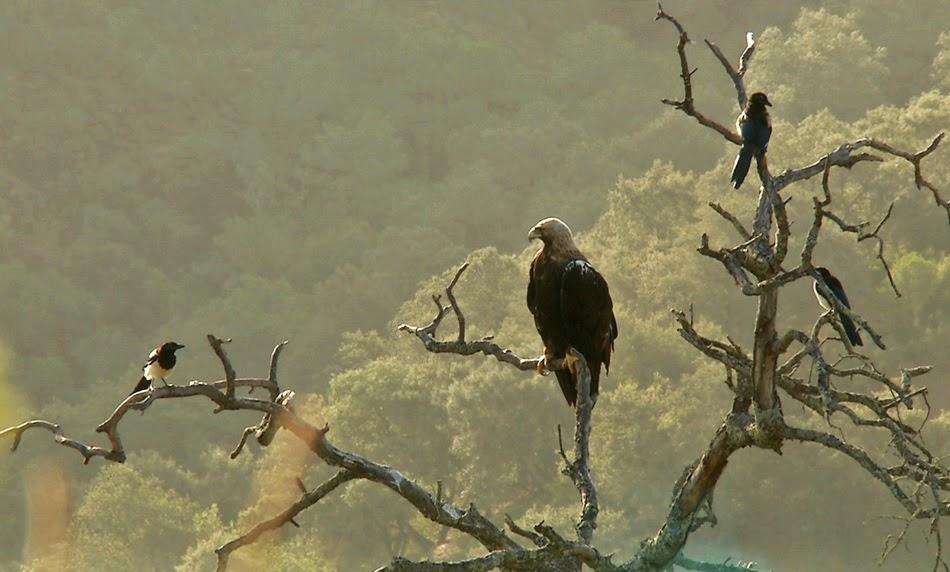 Águila Imperial junto con Urracas