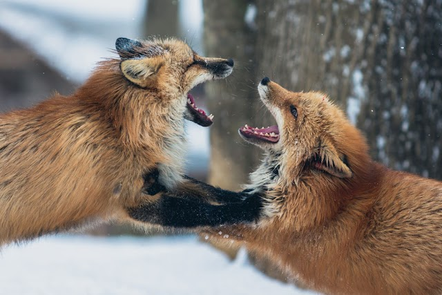 The mistreated under the conservation label of Japanese fox village