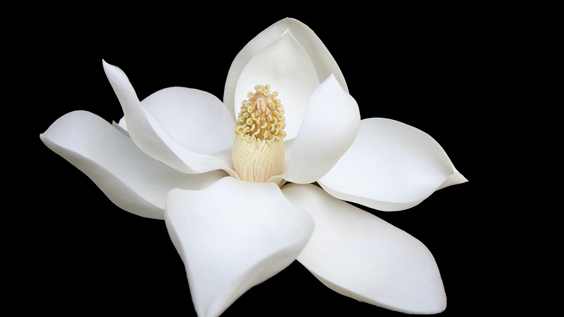Magnolia flower with black background 4k HD flowers Wallpaper