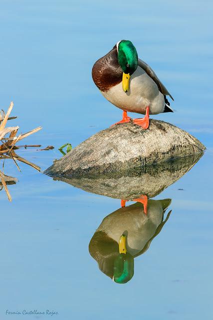 Pato como Narciso mirándose en el agua
