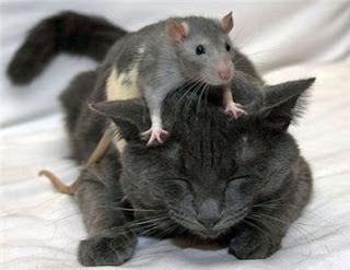 gambar tikus  Indonesiadalamtulisan  Terbaru 2014