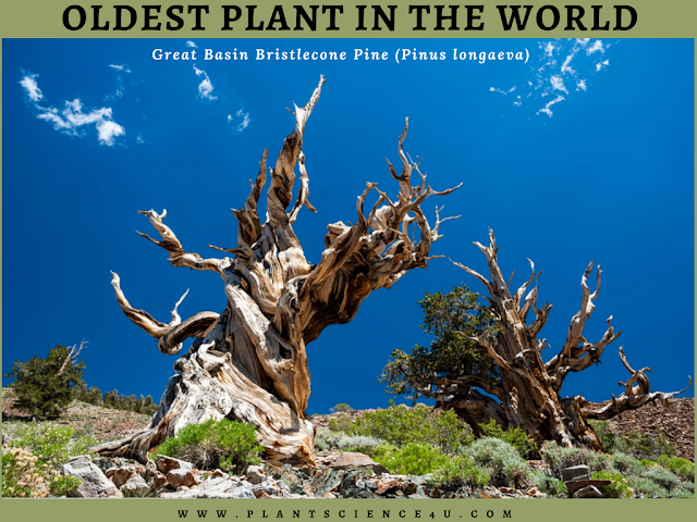 Great Basin Bristlecone pine (Pinus longaeva)