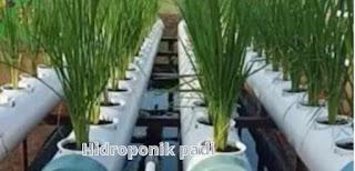 Hidroponik padi
