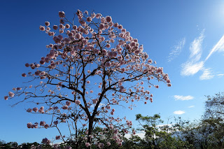 costa rica flowering tree