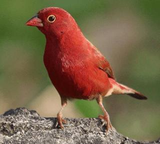 jenis burung emprit