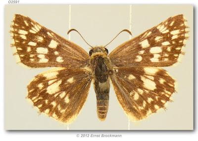 Mariposa cuadriculada americana (Heliopyrgus americanus)