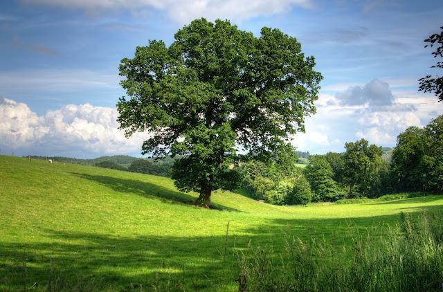 Facts about Oak Trees,ओक के पेड़ के बारे में रोचक तथ्य