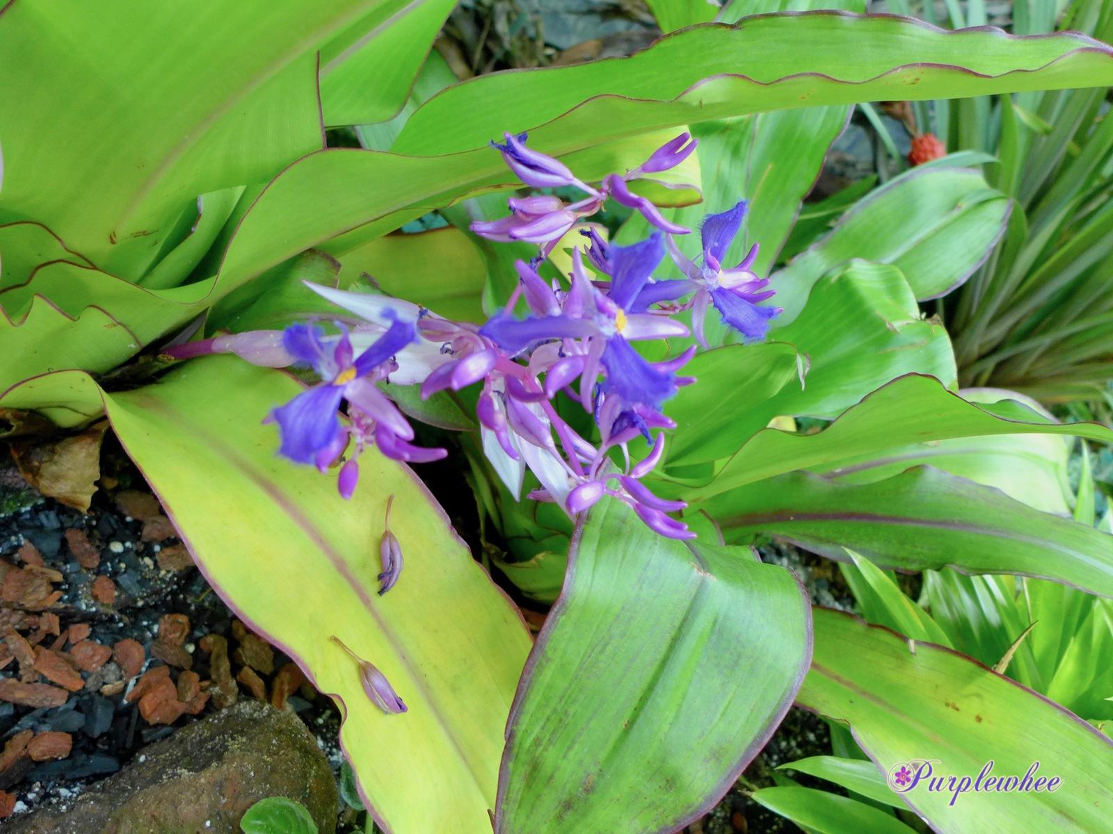 薇薇花園: 著生鴨跖草