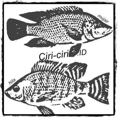 12 Ciri-Ciri Ikan Nila dan Habitatnya