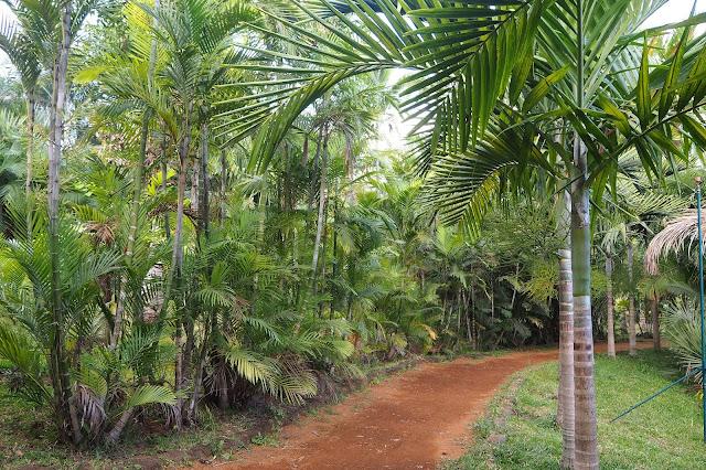 Park Palm na Wyspie Reunion - co to jest palma?