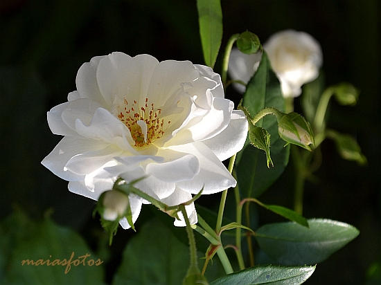 White rose close-up