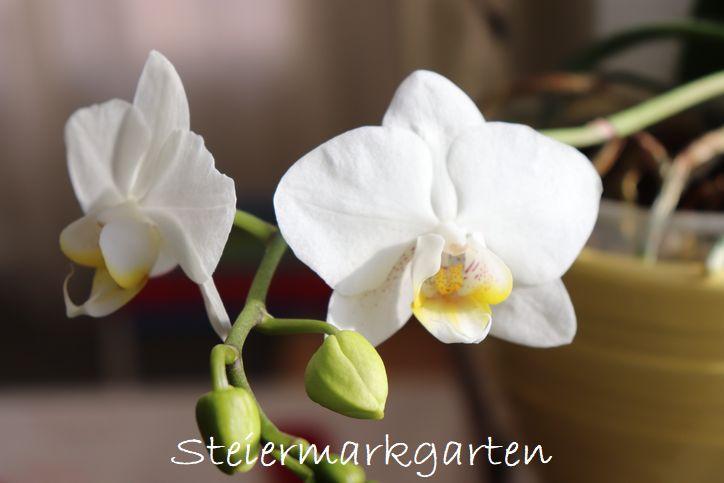 Orchideen-Steiermarkgarten