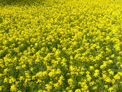 health benefits of yellow mustard, mustard nutrition