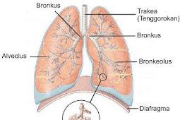 Pengertian Paru-paru