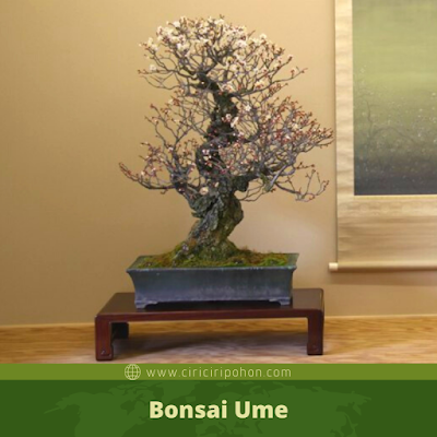 Bonsai Ume