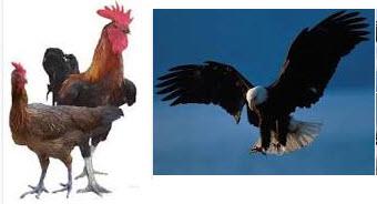 ayam dan elang