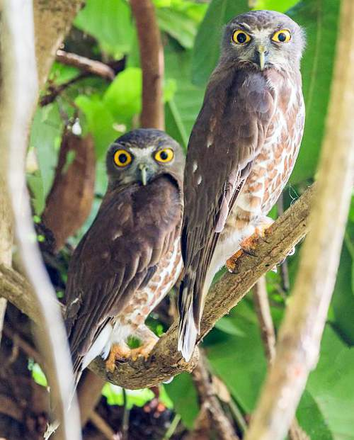 Indian birds - Image of Brown hawk-owl - Ninox scutulata