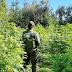 Descubren plantación de marihuana en predio cercano a Sauzal