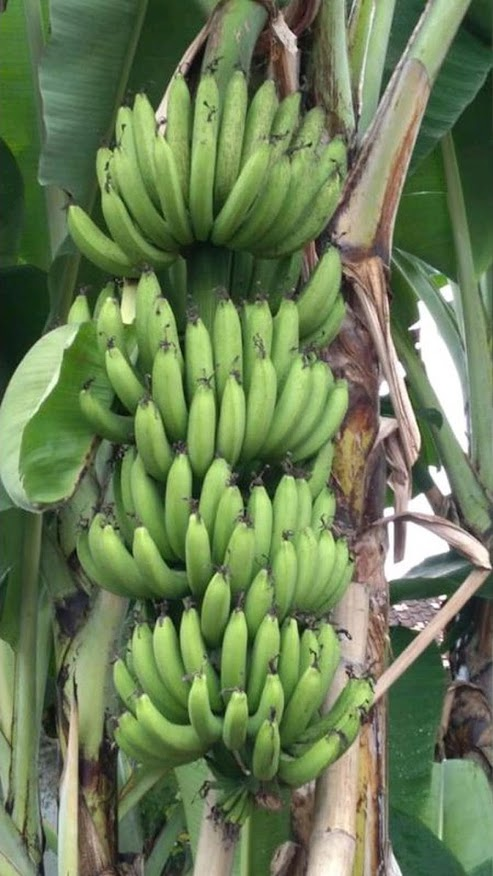 Bibit pisang unggul cavendish cj40 bonggol anakan dongkelan WISATA AGROTANI Yogyakarta