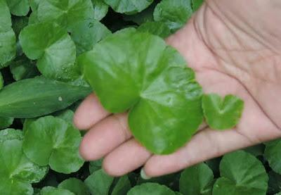 Tidak Perlu Obat Kimia!!! Cara Menyembuhkan Paru - paru Basah Hanya Dengan Tumbuhan Ini.. !!! Simak Disini!