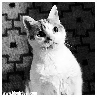 Feline Fiction on Fridays @BionicBasil®Black and White Amber