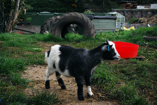 Pygmy Goat - Gorgie City Farm