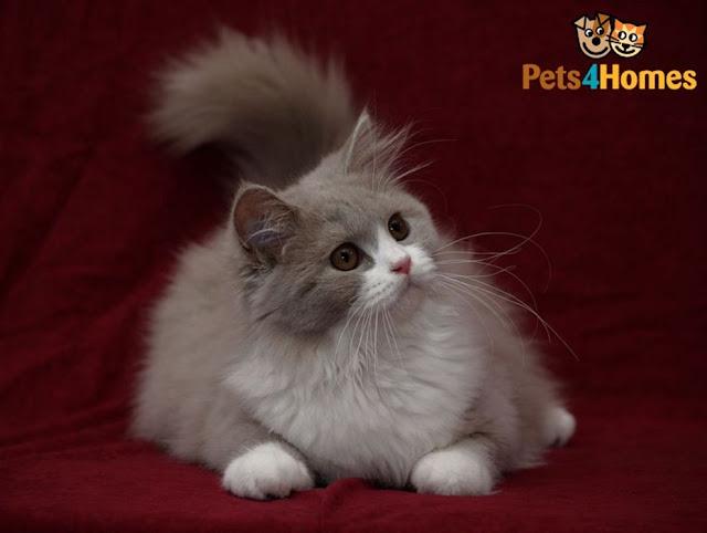 Kucing Anggora - Turki
