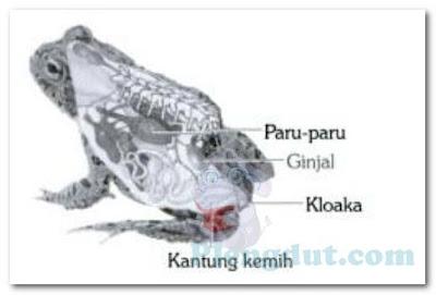 Letak kloaka, ginjal, paru-paru, dan kantung kemih pada kodok yang merupakan alat untuk ekskresi hewan amfibi