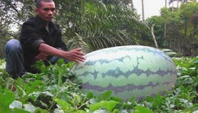 Semangka Terbesar Di Dunia