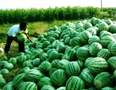 Pemanenan Buah Semangka