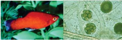 Penyakit Fungal (Jamur) Pada Ikan : Achlya sp