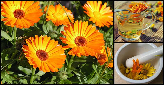 Calendula: A Natural Protection Against Cancer, Cramps, Inflammation And More